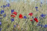 kolorowe maki i chabry w zbożu © Bea