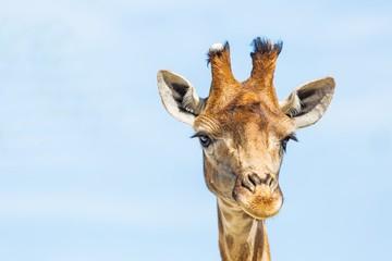 Giraffe's Head Close-Up