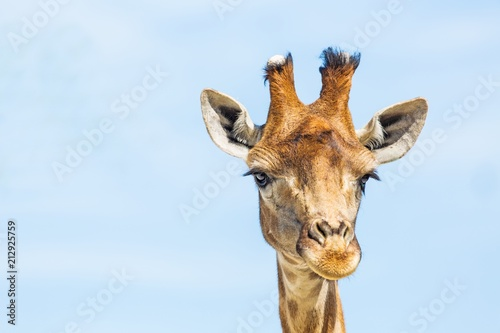 Giraffe's Head Close-Up