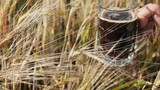 A woman is carrying a glass with a dark beer over the ears of barley in the field. Farmer hold dark beer in the barley field. Steadicam slow motion video - 212926133
