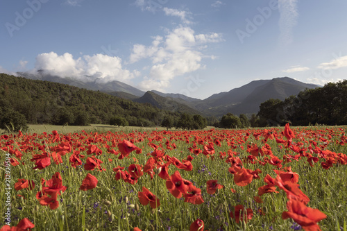 Aluminium Natuur summer fields with red poppies in the french provence countryside and mountains in the background