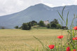 cornfield with poppies and typical provence house in summer with mountains in the background between Digne and Briancon