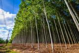 Eucalyptus Farm - 212936178