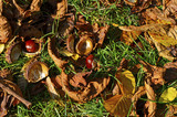 Chestnuts (Aesculus Hippocastanum) lying between grass and leaves at an autumn and sunny day - 212945171