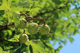 Chestnut tree - 212949925