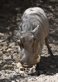 An Up Close Look into the Face of a Warthog - 212952768