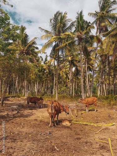 Fotobehang Bali Open cow farm with newborn calf in tropical Bali