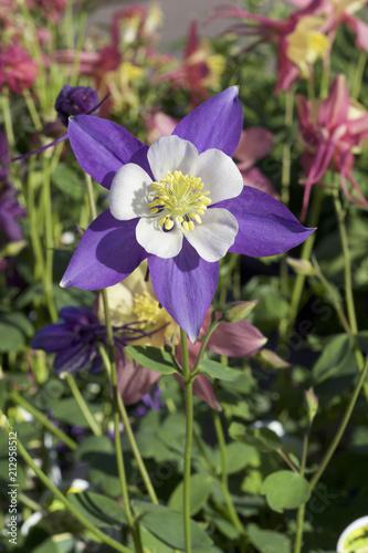 Zamyka w górę widoku pojedynczy purpurowy aquilegia kwitnie w kwiacie (kolombina)