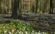 Leinwanddruck Bild - Buchenwald im Frühling