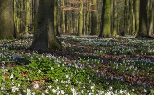 Leinwanddruck Bild Buchenwald im Frühling
