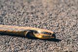 Blue tongued lizard crossing road - 212979306
