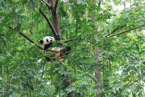 Plexiglas Panda young panda climbing up and playing on the tree