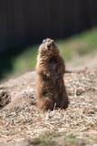 Prairie Dog Watcher - 212989781