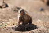 Prairie Dog On Guard - 212989786