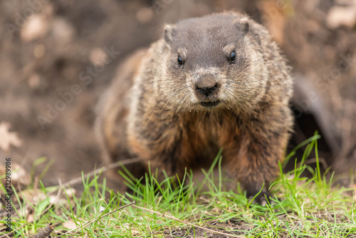 Sticker Woodchuck