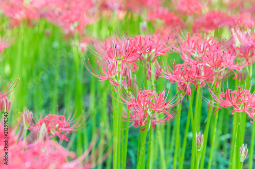 Aluminium Candy roze Close - up Red spider lily in autumn