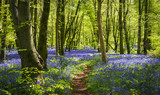 Sunlight illuminating woods with a carpet of bluebells - 212991302