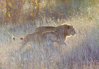 pride lions