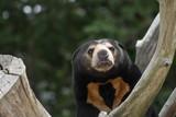 Close up portrait image of a Asian Sun Bear (Helarctos malayanus) - 212995354