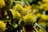 detail of ripe chestnuts - 212998741