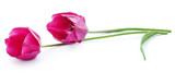 Closeup of Tulip flower - 213000399