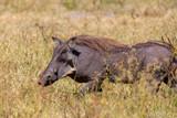 Warthog in Chobe reserve, Botswana safari wildlife - 213000501