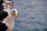 Seagull on water background looks at camera - 213001759