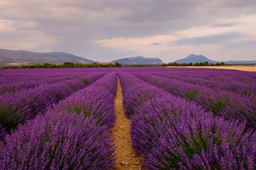Champ de lavande en fleurs, coucher de soleil. Plateau de Valensole, Provence, France.
