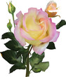 isolated light pink and yellow single rose