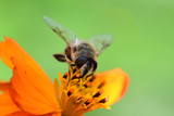 Macro shot of a bee pollinating  an orange coreopsis flower - 213012340