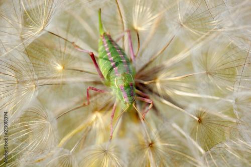 Aluminium Paardenbloemen locust in dandelion