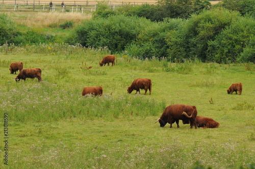 Fotobehang Bison Schottische Hochlandrinder auf einer Wiese in der freien Natur