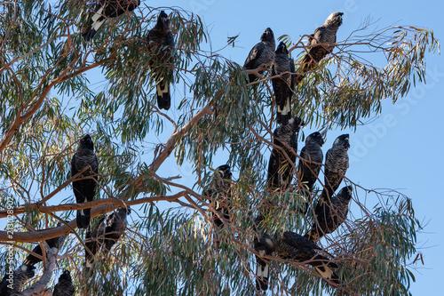 Australian black cockatoos sitting in a gum tree