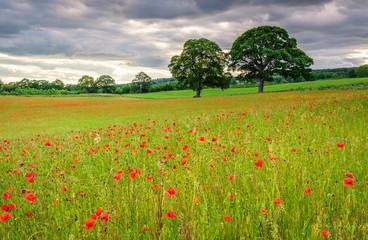 Poppy Field Meadow / A poppy field full of red poppies in summer near Corbridge in Northumberland