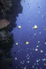Tropical coral reef with butterfly fish, Bunaken, Sulawesi, Indonesia
