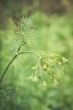 Wet dill close up - 213036734