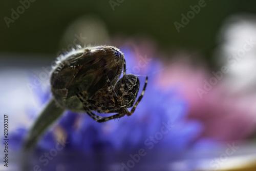 Fototapeta spide on the cornflower