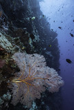Tropical coral reef with fan coral, Bunaken, Sulawesi, Indonesia