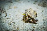 Red sea hermit crab - 213039796