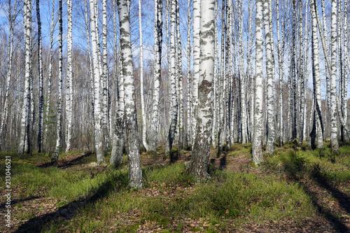 Foto Spatwand Berkenbos forest