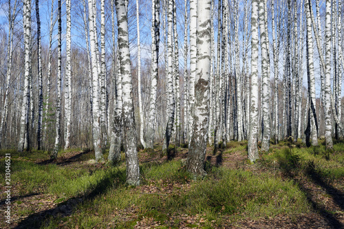 Plexiglas Berkenbos forest