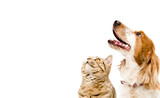Portrait of a dog Russian Spaniel and cat Scottish Straight isolated on white background