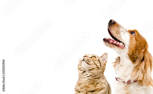 Portrait of a dog Russian Spaniel and cat Scottish Straight isolated on white background - 213052964