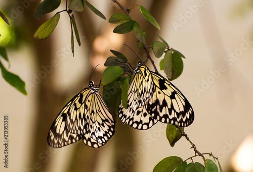 Monarch Butterflies - 213053385