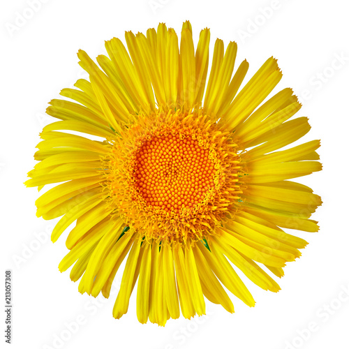 yellow wild flower isolated on white background. Flower bud close up. Element of design.