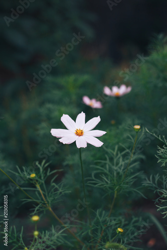 Cosmos flowers on a green background. - 213058315
