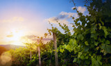 Sunrise over grape Vineyard; summer winery region morning landscape - 213058554