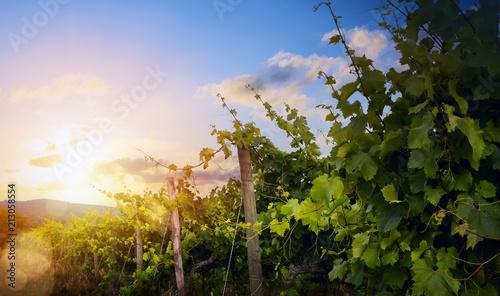 Foto Spatwand Wijngaard Sunrise over grape Vineyard; summer winery region morning landscape