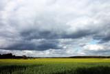 Rapsfeld mit bewölktem Himmel - 213059735