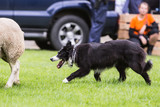 demonstration of a border collie at the work of the sheep in belgium - 213059768